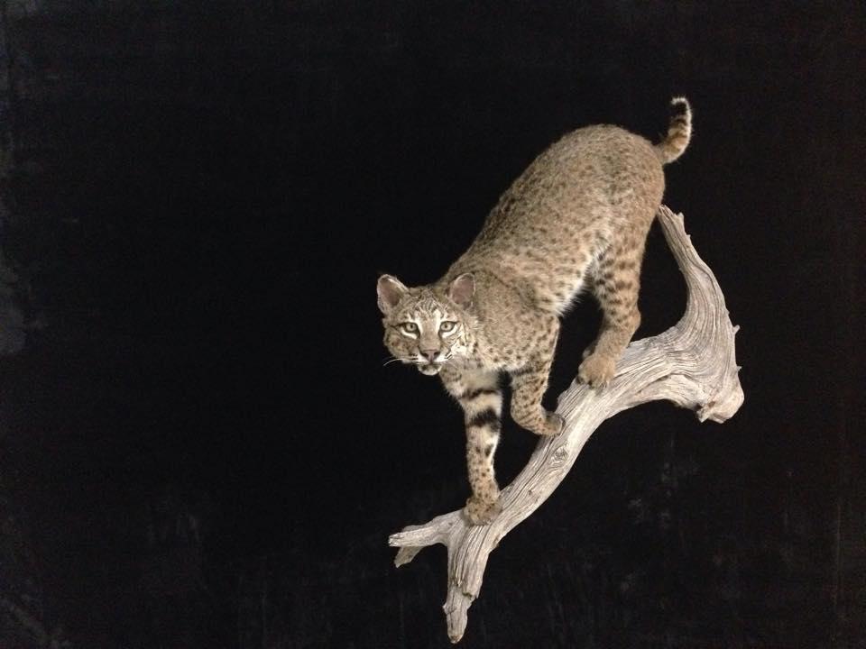 Bobcat FB