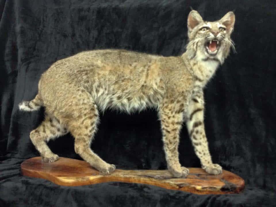 Bobcat Open Mouth FB