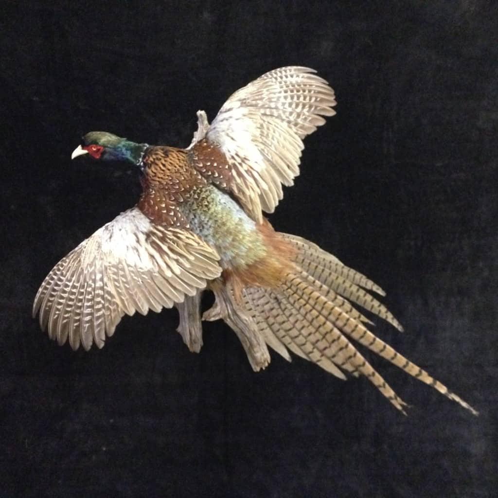 Pheasant R WS